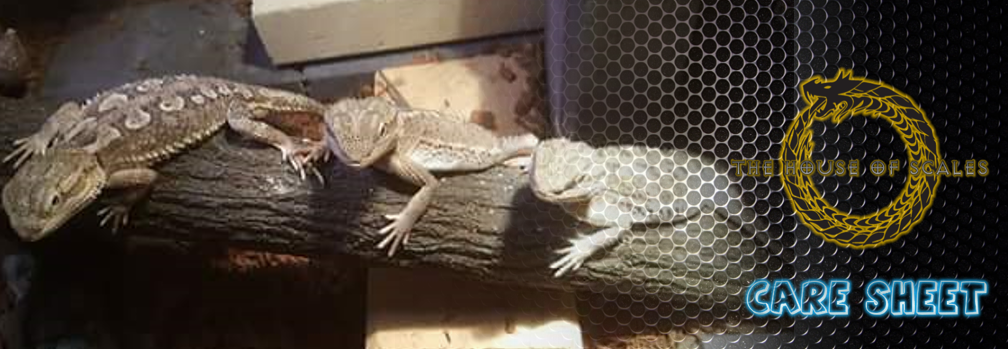 Pygmy Bearded Dragons